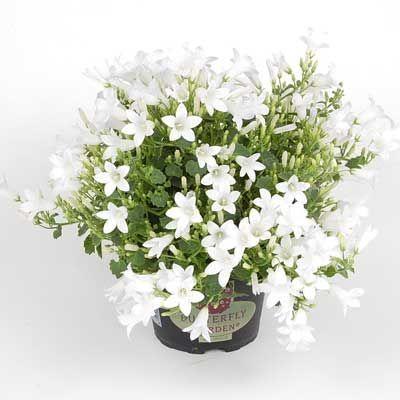 Комнатные растения - цветы Кампанула Белая