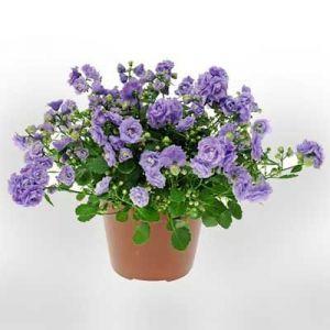 Комнатные растения - цветы Кампанула