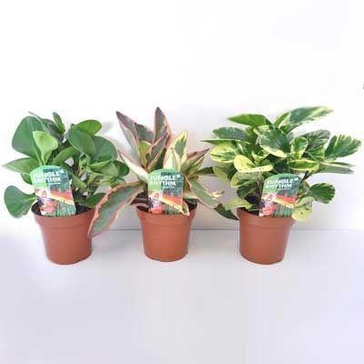 Комнатные растения - цветы Пеперомия