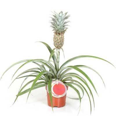 Комнатное растение - цветы Ананас